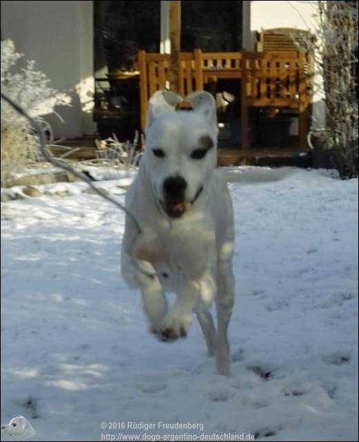 Der Dogo als Südamerikanisches Schneekänguruh